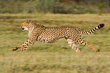 Cheetah (Acinonyx jubatus) running, Cheetah Conservation Fund, Otijwarongo, Namibia  -  Suzi Eszterhas