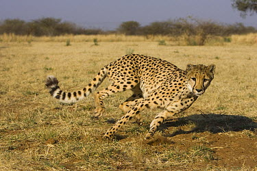 Cheetah (Acinonyx jubatus) rescued from a trap on a livestock farm, chasing after blue flag during exercise time, Cheetah Conservation Fund, Otijwarongo, Namibia  -  Suzi Eszterhas