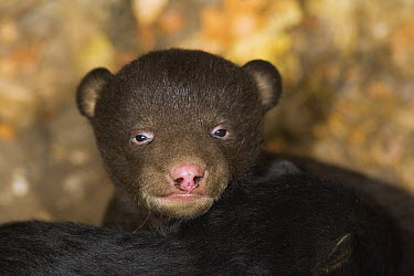 Black Bear (Ursus americanus) 3 week old cub (brown color phase) with eyes just recently opened, in den with mother  -  Suzi Eszterhas