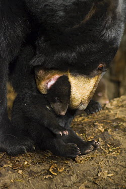 Black Bear (Ursus americanus) mother lifting 7 week old cub by mouth  -  Suzi Eszterhas