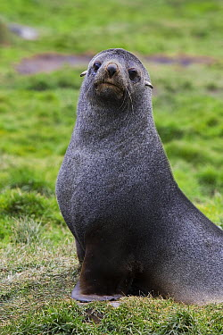 Antarctic Fur Seal (Arctocephalus gazella) young bull, Grytviken, South Georgia  -  Suzi Eszterhas