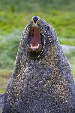 Antarctic Fur Seal (Arctocephalus gazella) large bull vocalizing in defense of territory, Grytviken, South Georgia  -  Suzi Eszterhas