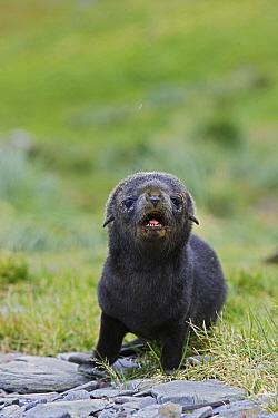 Antarctic Fur Seal (Arctocephalus gazella) 1 to 2 week old pup calling for mother, Grytviken, South Georgia  -  Suzi Eszterhas