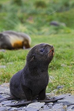 Antarctic Fur Seal (Arctocephalus gazella) 1 to 2 week old pup, Grytviken, South Georgia  -  Suzi Eszterhas