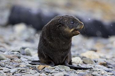 Antarctic Fur Seal (Arctocephalus gazella) 1 to 2 week old pup during light snowfall, Grytviken, South Georgia  -  Suzi Eszterhas