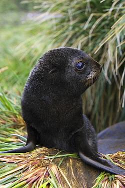 Antarctic Fur Seal (Arctocephalus gazella) 1 to 2 week old pup in tussock grass, Prion Island, South Georgia  -  Suzi Eszterhas