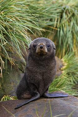 Antarctic Fur Seal (Arctocephalus gazella) 1 to 2 week old pup, Prion Island, South Georgia  -  Suzi Eszterhas