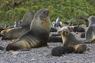 Antarctic Fur Seal (Arctocephalus gazella) breeding bull with adult female and nursing 1 to 2 week old pup, Prion Island, South Georgia  -  Suzi Eszterhas
