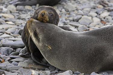 Antarctic Fur Seal (Arctocephalus gazella) mother and 1 to 2 week old pup, Prion Island, South Georgia  -  Suzi Eszterhas