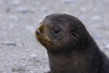 Antarctic Fur Seal (Arctocephalus gazella) 1 to 2 week old pup, Salisbury Plain, South Georgia  -  Suzi Eszterhas