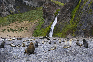 Antarctic Fur Seal (Arctocephalus gazella) colony, Hercules Bay, South Georgia  -  Suzi Eszterhas
