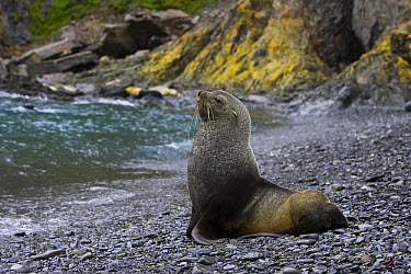 Antarctic Fur Seal (Arctocephalus gazella) bull on shore, Hercules Bay, South Georgia  -  Suzi Eszterhas