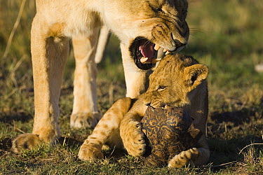 African Lion (Panthera leo) mother growling at curious 4 month old cub playing with tortoise, vulnerable, Masai Mara National Reserve, Kenya, sequence 3 of 4  -  Suzi Eszterhas
