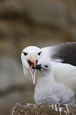 Black-browed Albatross (Thalassarche melanophrys) preparing to regurgitate food for hungry 1-2 week old chick in nest, endangered, New Island, Falkland Islands  -  Suzi Eszterhas