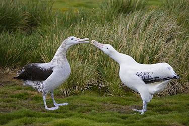 Wandering Albatross (Diomedea exulans) adult male and immature male engage in courtship display, vulnerable, Prion Island, South Georgia  -  Suzi Eszterhas
