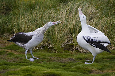 Wandering Albatross (Diomedea exulans) adult male engage in courtship display with immature male, vulnerable, Prion Island, South Georgia  -  Suzi Eszterhas