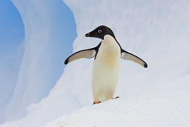Adelie Penguin (Pygoscelis adeliae) on iceberg, Paulet Island, Antarctica  -  Suzi Eszterhas