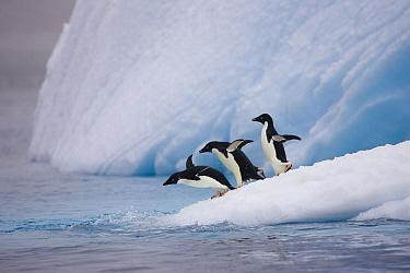 Adelie Penguin (Pygoscelis adeliae) trio diving off iceberg, Paulet Island, Antarctica  -  Suzi Eszterhas