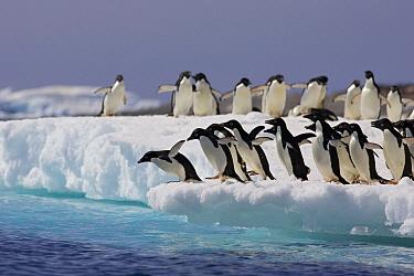 Adelie Penguin (Pygoscelis adeliae) preparing to dive from ice floe into icy water, Paulet Island, Antarctica  -  Suzi Eszterhas