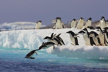Adelie Penguin (Pygoscelis adeliae) group jumping off iceberg into icy water, Paulet Island, Antarctica  -  Suzi Eszterhas