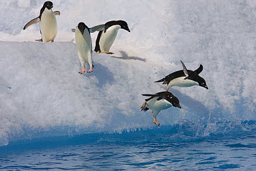 Adelie Penguin (Pygoscelis adeliae) group jumping and diving off iceberg into cold water, Paulet Island, Antarctica  -  Suzi Eszterhas