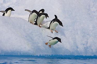 Adelie Penguin (Pygoscelis adeliae) diving off iceberg, Paulet Island, Antarctica  -  Suzi Eszterhas
