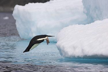 Adelie Penguin (Pygoscelis adeliae) diving off iceberg into icy water, Paulet Island, Antarctica  -  Suzi Eszterhas