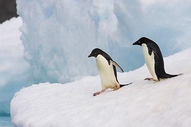 Adelie Penguin (Pygoscelis adeliae) pair cautiously approach edge of iceberg, Paulet Island, Antarctica  -  Suzi Eszterhas