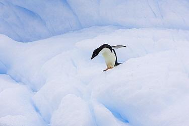 Adelie Penguin (Pygoscelis adeliae) carefully walking on iceberg, Paulet Island, Antarctica  -  Suzi Eszterhas