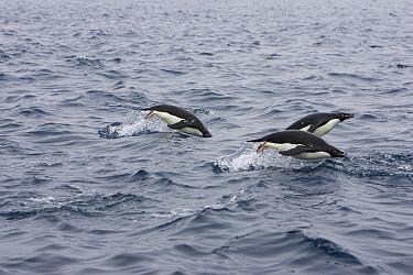 Adelie Penguin (Pygoscelis adeliae) trio porpoising off of Paulet Island, Antarctica  -  Suzi Eszterhas