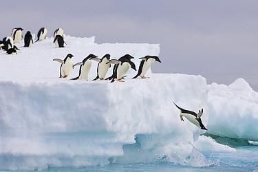 Adelie Penguin (Pygoscelis adeliae) diving off iceberg and others watch, Paulet Island, Antarctica  -  Suzi Eszterhas
