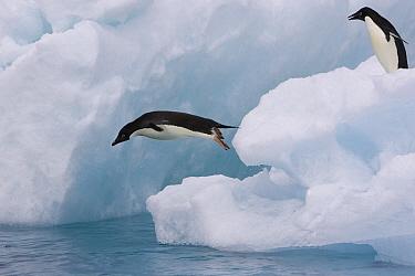 Adelie Penguin (Pygoscelis adeliae) diving off iceberg as another watches, Paulet Island, Antarctica  -  Suzi Eszterhas
