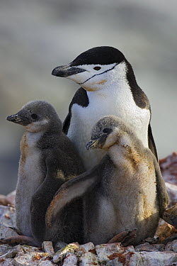 Chinstrap Penguin (Pygoscelis antarctica) parent and two chicks, Booth Island, Antarctica  -  Suzi Eszterhas