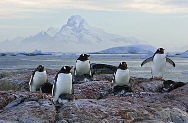 Gentoo Penguin (Pygoscelis papua) adults nesting with chicks at sunrise, Booth Island, Antarctica  -  Suzi Eszterhas