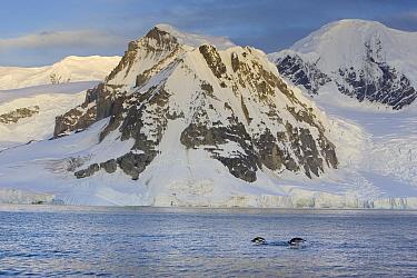 Gentoo Penguin (Pygoscelis papua) pair porpoising off Cuverville Island, Antarctica  -  Suzi Eszterhas