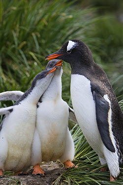 Gentoo Penguin (Pygoscelis papua) parent and two hungry 2-3 week old chicks begging for food on nest, Gold Harbor, South Georgia Island  -  Suzi Eszterhas