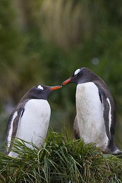 Gentoo Penguin (Pygoscelis papua) couple nesting, Gold Harbor, South Georgia Island  -  Suzi Eszterhas