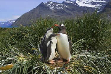 Gentoo Penguin (Pygoscelis papua) parent and two 2-4 week old chicks on nest, Gold Harbor, South Georgia Island  -  Suzi Eszterhas