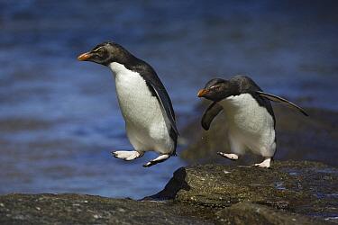 Rockhopper Penguin (Eudyptes chrysocome) hopping from rock to rock, New Island, Falkland Islands  -  Suzi Eszterhas