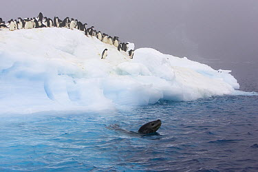 Leopard Seal (Hydrurga leptonyx) swiming near Adelie Penguins (Pygoscelis adeliae) on ice floe as penguins watch, Paulet Island, Antarctica  -  Suzi Eszterhas