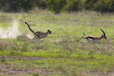 Cheetah (Acinonyx jubatus) chasing male Thomson's Gazelle (Eudorcas thomsonii), Masai Mara National Reserve, Kenya  -  Suzi Eszterhas