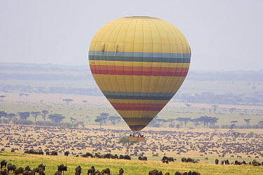 Hot air balloon flying over wildebeest her Masai Mara, Masai Mara Triangle, Kenya  -  Suzi Eszterhas