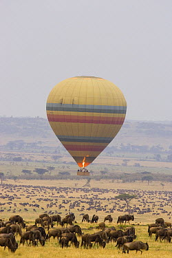 Hot air balloon flying wildebeest herd, Masai Mara Triangle, Kenya  -  Suzi Eszterhas