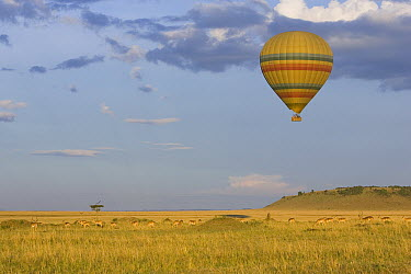 Hot air balloon flying over impala herd, Masai Mara Triangle, Kenya  -  Suzi Eszterhas