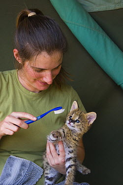 Serval (Leptailurus serval) kitten, five week old orphan being groomed by Suzi Eszterhas with toothbrush which resembles shape, size and texture of mother's tongue, Masai Mara Reserve, Kenya  -  Suzi Eszterhas