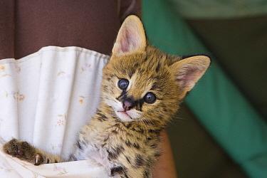 Serval (Leptailurus serval) kitten, five week old orphan in kangaroo pouch, used to increase emotional bond with foster parent, Masai Mara Reserve, Kenya  -  Suzi Eszterhas
