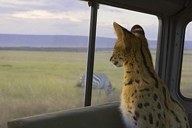 Serval (Leptailurus serval) kitten, six month old orphan watching zebra through car window while on a game drive, Masai Mara, Kenya  -  Suzi Eszterhas