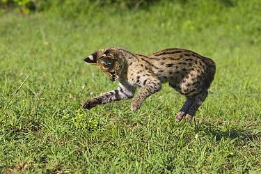 Serval (Leptailurus serval) kitten, thirteen week old orphan hunting, Masai Mara Reserve, Kenya  -  Suzi Eszterhas