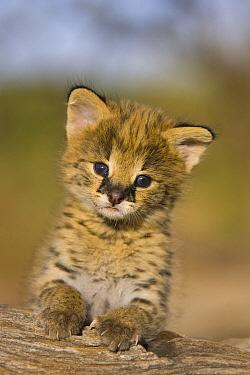 Serval (Leptailurus serval) kitten, two and a half week old orphan, Masai Mara Reserve, Kenya  -  Suzi Eszterhas
