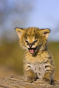 Serval (Leptailurus serval) kitten, two and a half week old orphan calling, Masai Mara Reserve, Kenya  -  Suzi Eszterhas